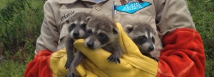 Raccoons found in an attic